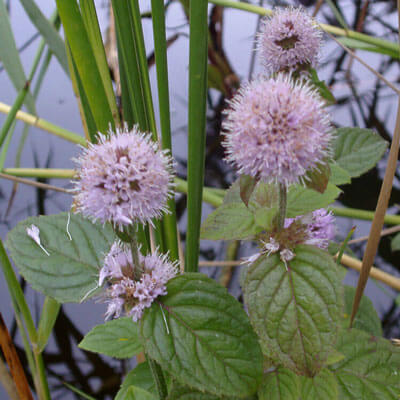 British native plants