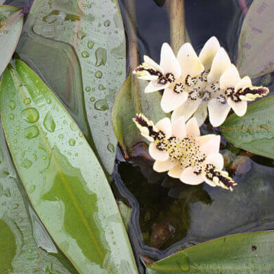 Waterlilies & surface cover plants