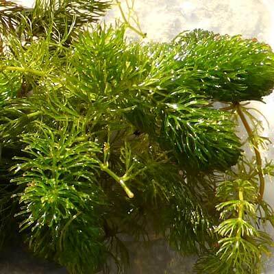 Buy pond plants online british native aquatic plants for Oxygenating plants for a small pond
